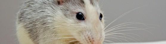 sexing a rat