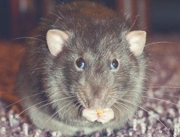 a rat eating