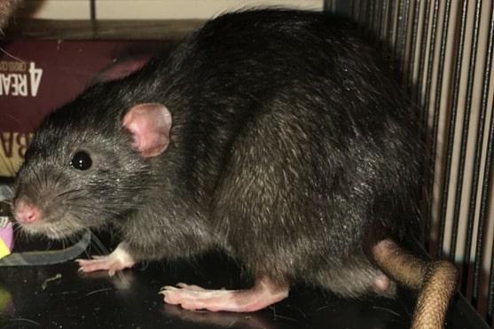 how to trust train pet rats